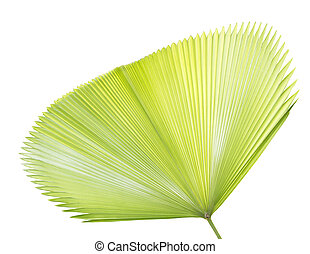 Palm leaf isolated on white