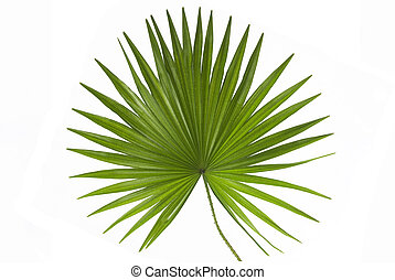 Leaf of a Palm Tree Isolated on White