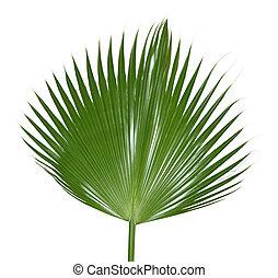 Palm Leaf - Single palm leaf isolated on white