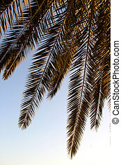 Palm leafs and sea in the evening, sunset