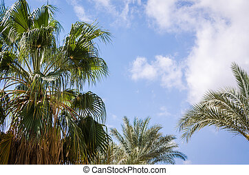 palm leaves against the blue sky and white clouds in Egypt Dahab South Sinai