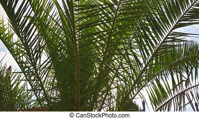 palm leaves against the blue sky in the park in a tropical climate. Vegetation. peace and relaxation.