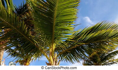 palm leaves in the wind,Bahamas,august 2016.