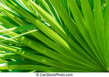 Palm leaves of Chamaerops humilis texture decoration resource with shadow