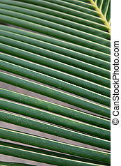 Palm leaves, the tropical plant growing in wild on black background. sheet coconut palms Macro shot