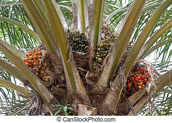 Palm oil, a well-balanced healthy edible oil is now an...