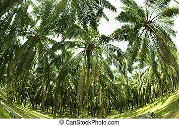 Palm Oil Plantation in Fish eye view - Palm oil to be...