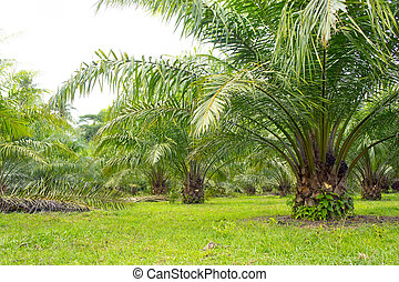 palm oil tree is growing