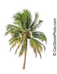 palm trä, bakgrund, isolerat, kokosnöt, vit