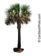 palm trä, isolerat