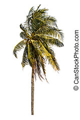 palm trä, isolerat, kokosnöt, bakgrund., vit