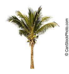 palm, träd., kokosnöt