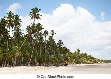 palm-tree, 浜, pernam