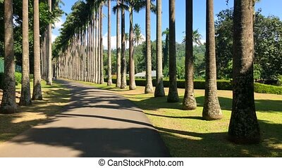 Palm tree alley in Royal Botanic King Gardens. The garden...