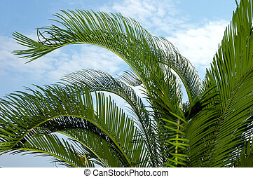 palm-tree, feuilles
