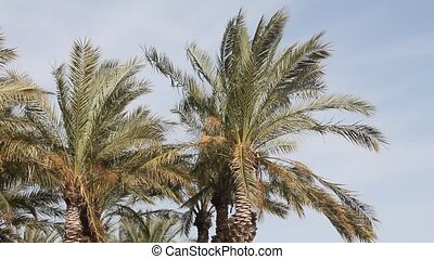 Palm - tree