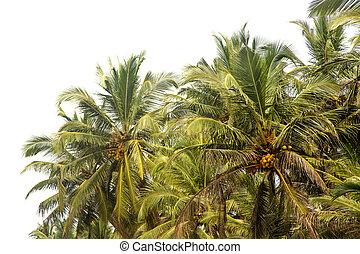 Palm tree in Agonda, Goa, India