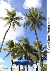 Palm tree in Guam