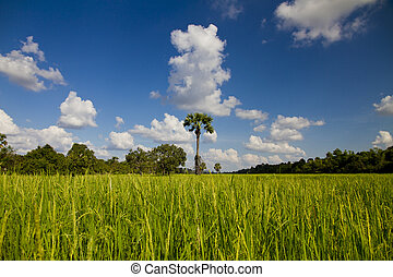 Palm tree in rice field