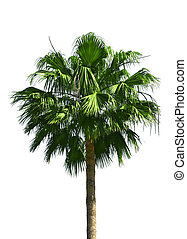 Palm tree isolated - Green fan palm tree isolated on white...