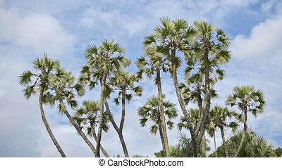 Palm tree leaves moving in air, time lapse movie