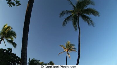 Palm Tree - Looking up at a palm tree, on the Big Island of...