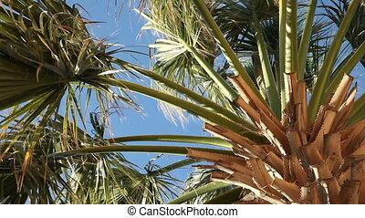 Palm tree - Moving palm tree leaves.