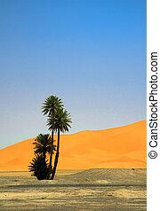 palm tree on the edge of Sahara desert