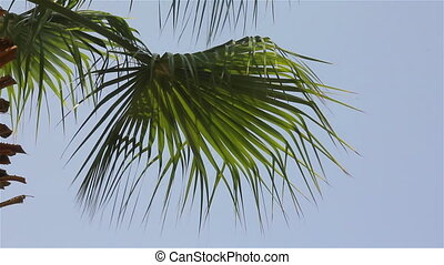 Palm tree over a blue sky - Palm tree leaves on the wind and...