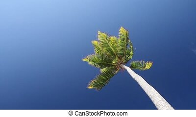 palm tree  - Palm tree against blue sky