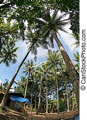 palm tree - Palm tree forest. A natural beauty at Laha Beach...