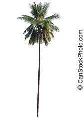 Palm  tree - Palm tree isolated on white background