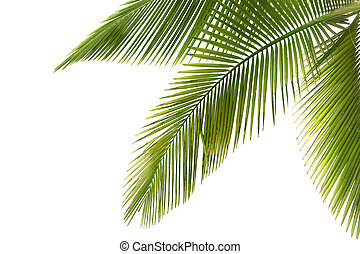 Palm tree - Part of palm tree on white background