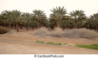 Palm tree plant from car - Plant of palm tree in desert of...