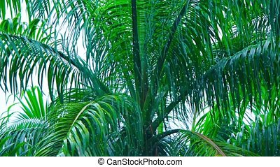 "Palm Tree Swaying in a Monsoon Rain Storm - ""Heavy, tropical..."