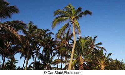 Palm tree tops and blue sky.