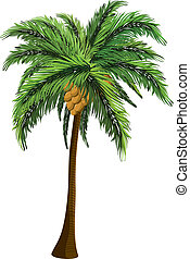 Palm tree with coconut - Tropical coconut palm tree with...