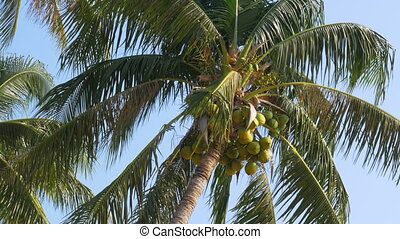 Palm tree with coconuts against the blue sky. Big green coconuts. Thailand
