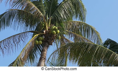 Palm tree with coconuts against the blue sky. Big green...