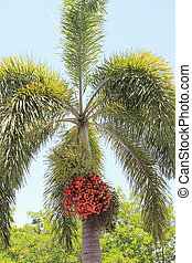 Palm Tree with its Crimson Fruit - One Christmas tree palm...