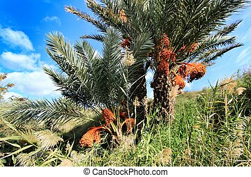 Palm trees full of dates in Elche