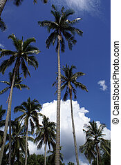 Palm trees in Cherating, east coast of Malaysia...