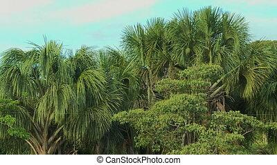 Palm Trees In Lush Tropical Rainforest, Peru - Close-up,...