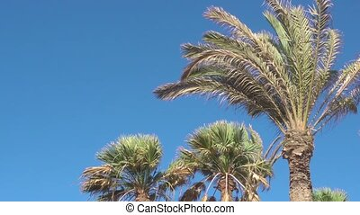 Palm Trees in the Strong Wind against blue sky