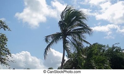 Palm trees in windy day shot