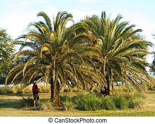 Palm trees in winter in northern Florida.