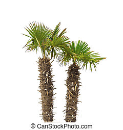 Palm trees isolated.