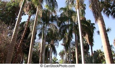 Palm Trees - Lord Kitchner Island, Egypt