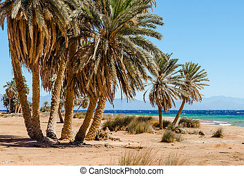 palm trees on the Red Sea in Egypt