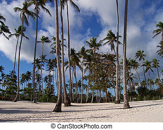 Palm trees - Wide angle shot of a palm trees forest and...